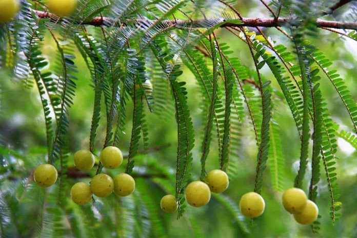 Amla for Skin and Hair