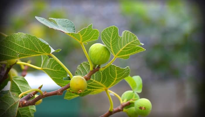 Fig Stem for Skin Tag